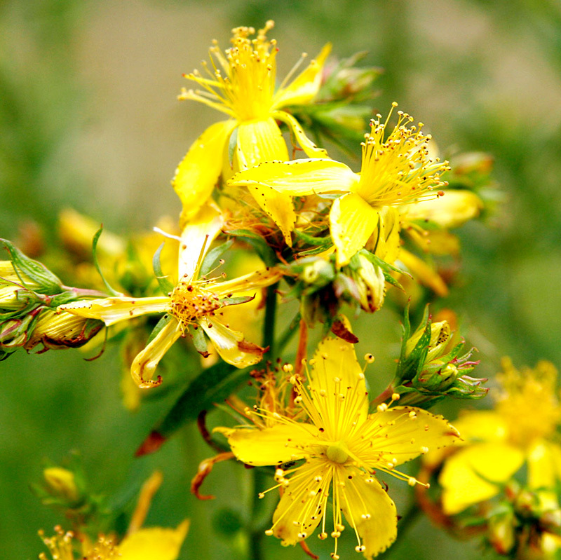 Hypericum (St. John's Wort) Infused Oil
